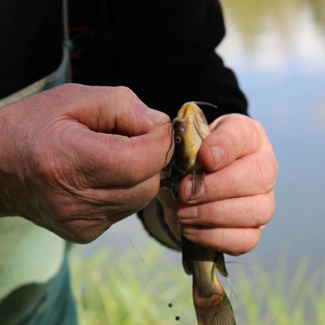 Pêche, poisson chat tenu dans la main